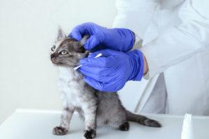 Kleine Katze mit Ohrmilben beim Tierarzt. Ohrmilben Katze.