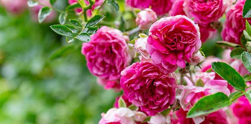 Rosen überwintern