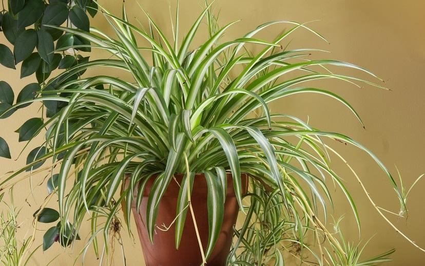 Luftreinigende Pflanze