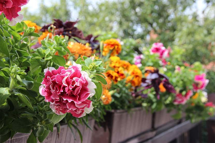 Balkonblumen Wann Ist Die Beste Zeit Zum Einsetzen Herold