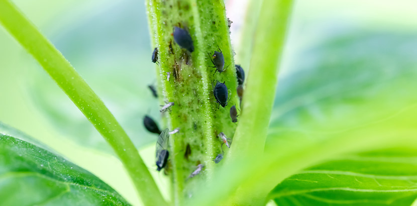 Blattläuse an einer Pflanze im Garten