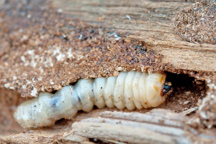 Nahaufnahme von einem Holzwurm, der sich durch Holz frisst. Holzwurmbekämpfung