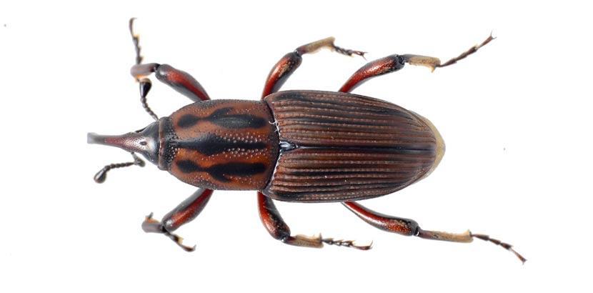 Bild eines gemeinen Nagekäfers. Der Holzwurm ist die Larve des Gemeinen Nagekäfers.