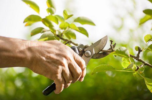 Männerhand mit Gartenschere, die den Trieb eines Astes abschneidet. Was muss man beim Obstbäume schneiden beachten?