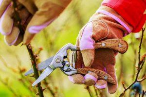 Zwei Hände mit Gartenhandschuhen, die Rosen schneiden.