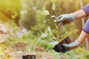 Zwei Hände mit Gartenhandschuhen, die kleine Salatpflanzen in die Erde setzen und den Garten gestalten.