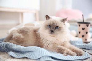 Katze niest und liegt auf dem Tisch auf einer blauen Kuscheldecke.