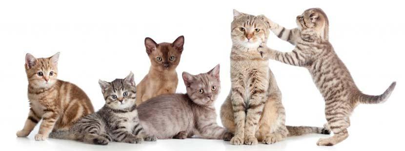 Katzenkrankheiten, Katze niest. Sechs junge Katzen, die miteinander spielen.