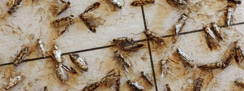 Tote Kleidermotten, die an einer Pheromonfalle kleben geblieben sind.
