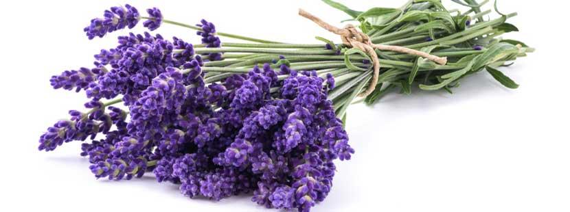 Lavendel ist eines der besten Hausmittel, um Kleidermotten zu bekämpfen.