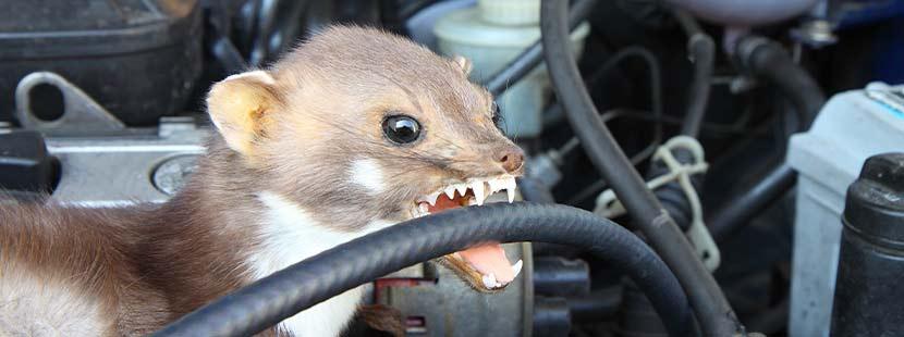 Marder, der Autokabel im Motorraum zerbeisst.