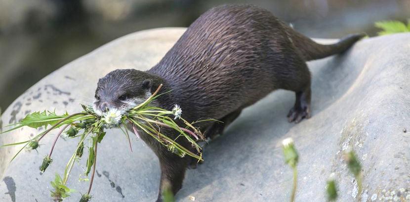 Ein Otter, der Löwenzahn in seinem Mund trägt. Tierpark Oberösterreich