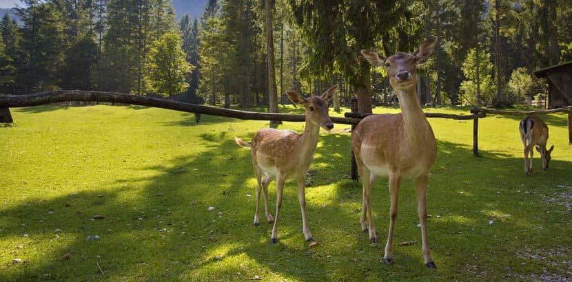 Zwei Rehe im Wildpark Grünau. Tierpark Oberösterreich