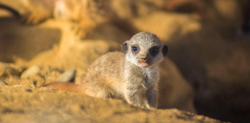 Ein Erdmännchen Baby aus dem Zoo Linz. Tierpark Oberösterreich