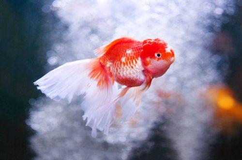 Ein rot-weißer Goldfisch in einem Aquarium