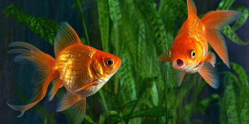 Aquarium Preise: Wasserpflanzen in einem Aquarium und zwei Goldfische