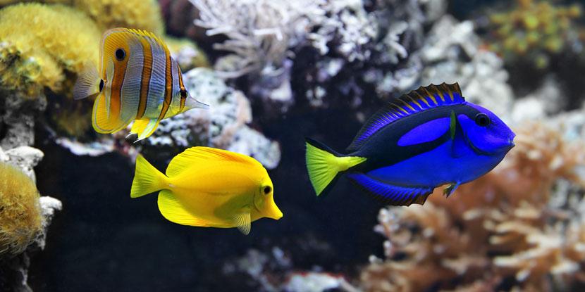 Ein Salzwasseraquarium mit Korallen, gelben Fischen und einem blauen Fisch.