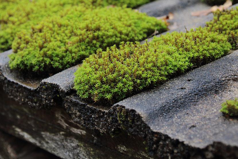 Moos auf einem Dach. Durch eine Dachreinigung kann es entfernt werden.