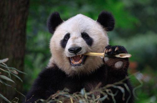 Ein Pandabär sitzt im Grünen und nagt an einer Stange Bambus.