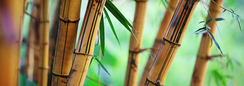 Moso-Bambus für Bambusparkett mit grünen Blättern