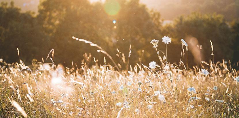 Wiesengräser, die die Wiesengräserdermatitis, eine Art der Sonnenallergie, auslösen können