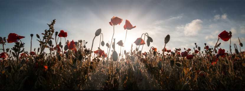 Feld von Mohnblumen vor einem Sonnenuntergang am Horizont. Trauerbegleitung und Trauerhilfe Wien.