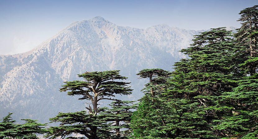 Ein Wald aus Libanon-Zedern in der Türkei vor einem Berg. Aus ihnen wird Zedernholz hergestellt.