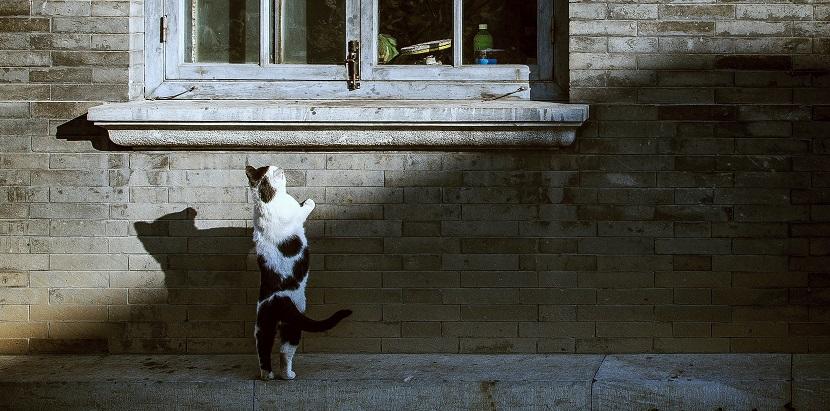 Gefleckte Katze schaut neugierig ins Fenster hinein