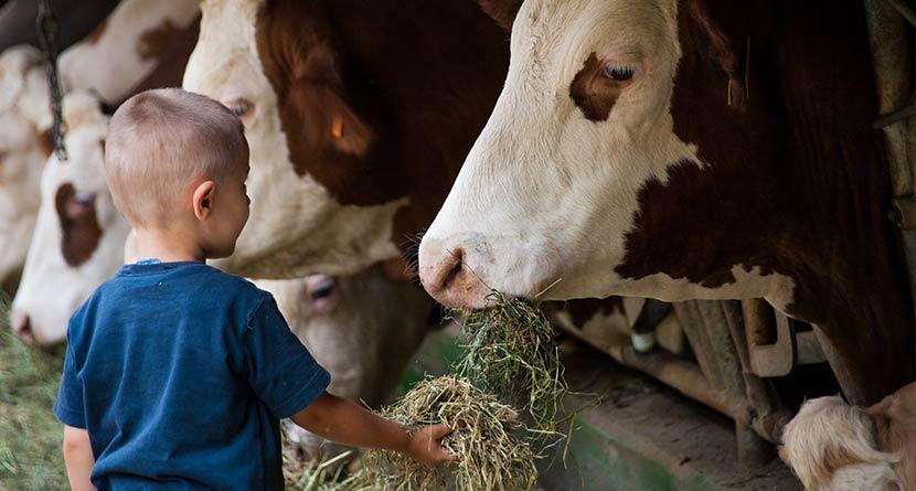 Bub füttert Kühe mit Heu