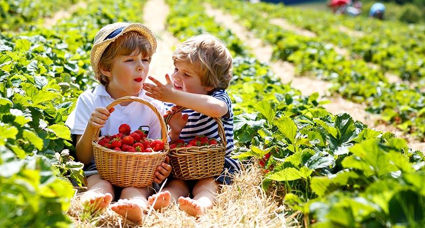 Kinder helfen bei Erdbeeren Ernte