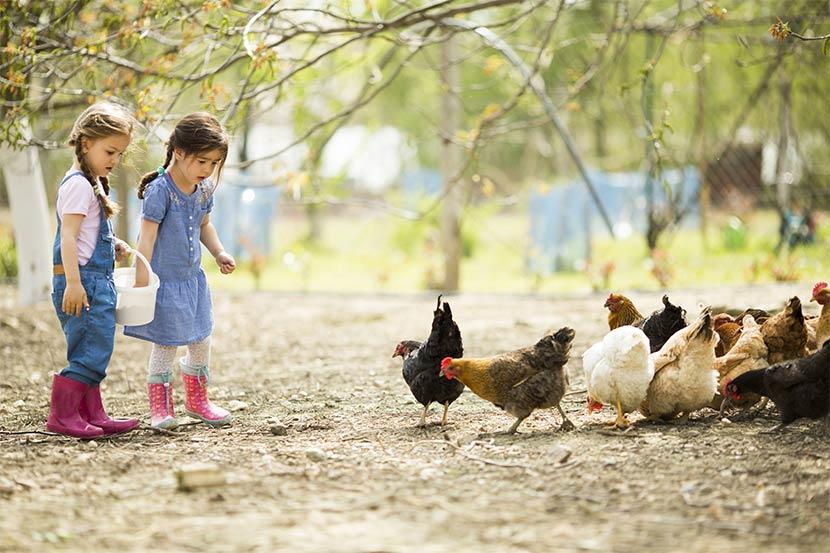 Kinder mit Gummistiefel füttern Hühner