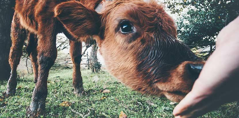 kleines Kalb füttern im Urlaub am Bauernhof