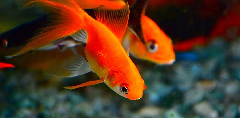 Aquarium kaufen: Fische in einem Nano Aquarium