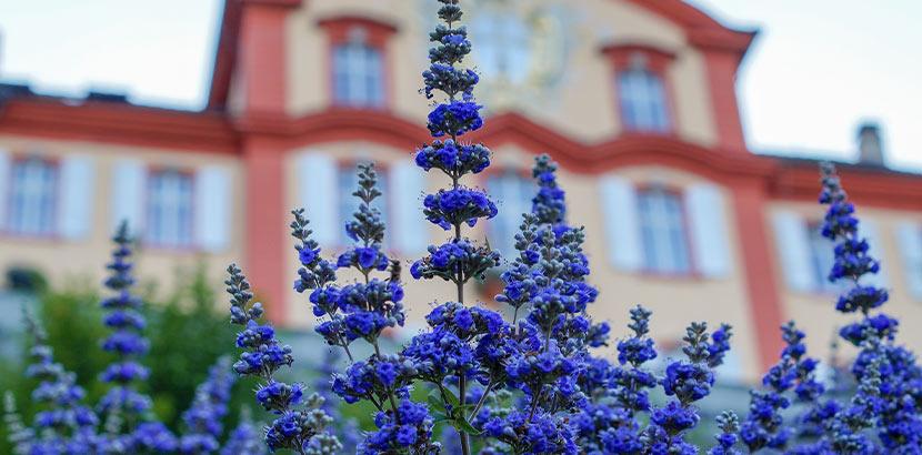 Mönchspfeffer: Heilpflanze mit lila Blüten