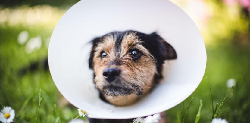 Kastration Hund: Ein Hund mit Halskrause