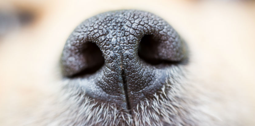 Hund Kastration: Eine Hundeschnauze