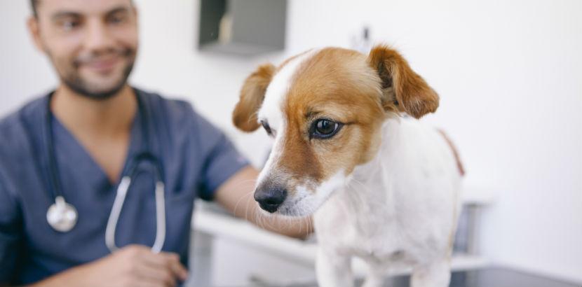 Tierarzt und Hund, der kastriert werden soll.
