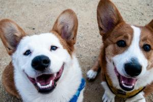 Kastration Hund: Zwei Hunde blicken auf zum Betrachter.