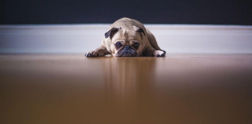 Sachkundenachweis: Ein Mops liegt auf dem Fußboden.