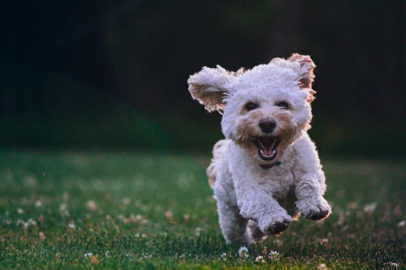 Sachkundenachweis: Ein kleiner Terrier.