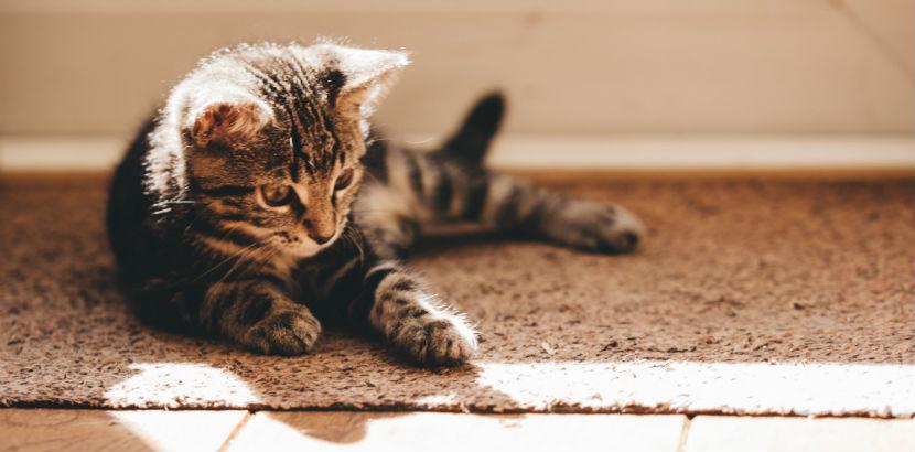 Tierarzt Linz: Eine junge Katze auf dem Fußboden.