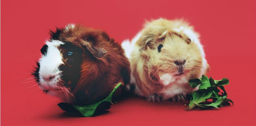Tierarzt Linz: Zwei Hamster vor rotem Hintergrund.
