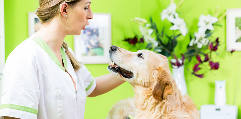 Junge blonde Hundefriseurin mit einem Golden Retriever bei der Fellpflege. Hundefriseur Wien.