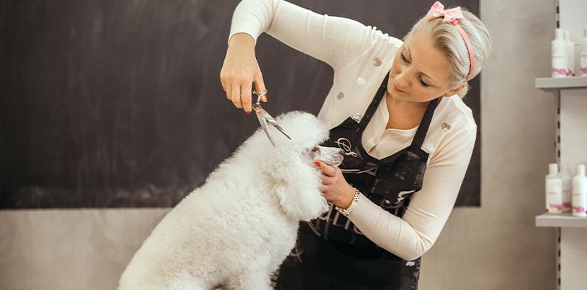 Junge blonde Hundefriseurin, die einen Pudel frisiert. Hundesalon Wien.