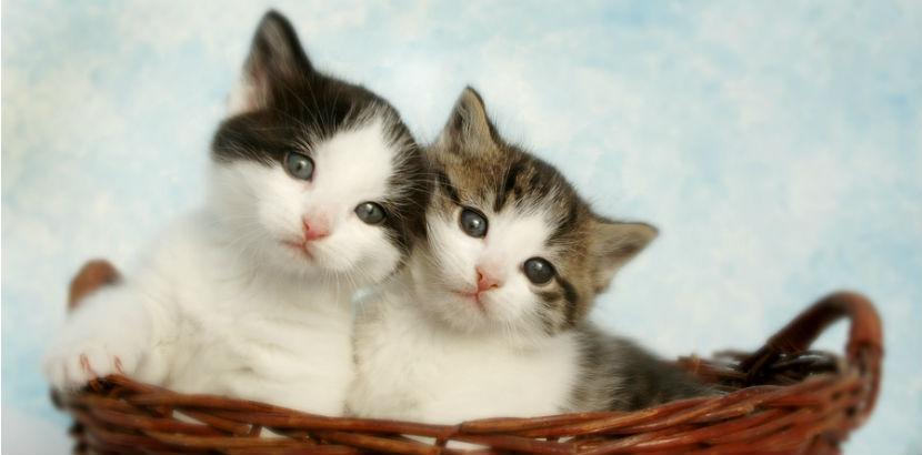 Katze impfen: zwei Babykatzen im Korb