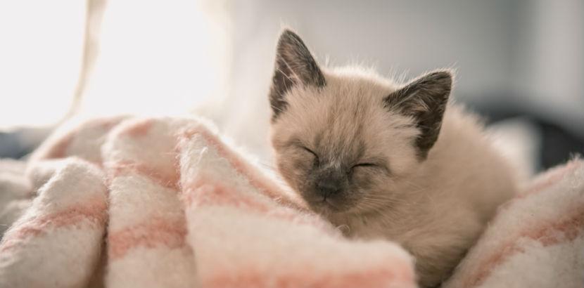Katze impfen: eine kleine Siamkatze auf einer Decke