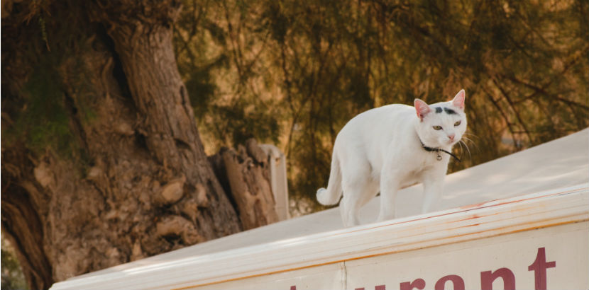 Katze impfen: eine weiße Katze auf einem Dach
