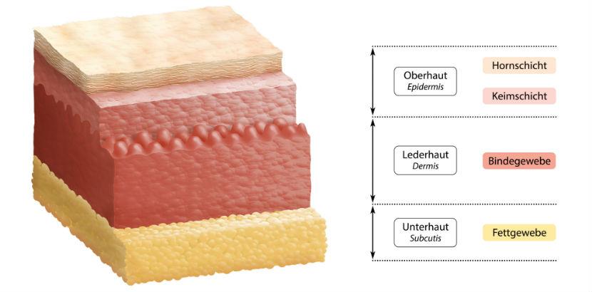 Hautarzt Linz: Hautschichten