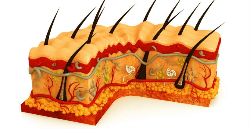 Hautarzt Linz: ein grafischer Querschnitt der Hautschicht