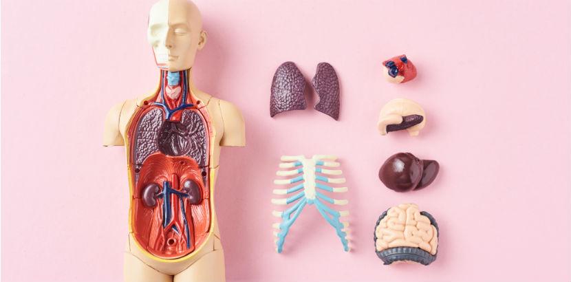 Internist Graz: Innere Organe Modell